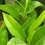 لمرضى السكر وراغبي التخسيس نبات ستيفيا (Stevia) السكرية 2