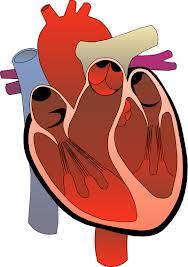 لأول مرة العلماء يكتشفون خلايا جديدة تعيد ترميم القلب 1