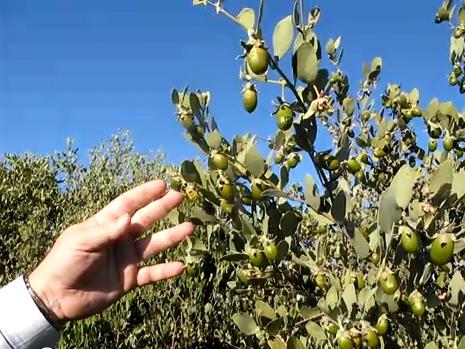 نبات شجرة الجوجوبا أو الهوهوبا