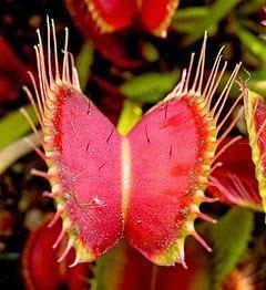 نباتات مفترسة : شاهد كيف تصطاد النباتات آكلة الحشرات فرائسها - فيديو 1