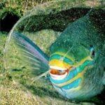 معلومات عن سمكة شمس المحيط أو المولا مولا الفريدة 5