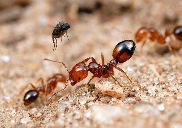 النمل الناري آكل اللحوم الذي تقتله ذبابة بضربة واحدة ! 2