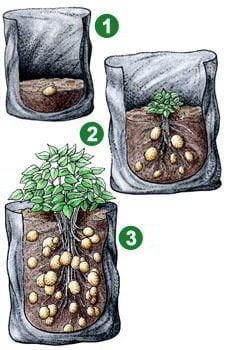 7 طرق لزراعة البطاطس (البطاطا) بنفسك في منزلك 4