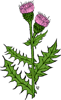 نبات السلبين المريمي