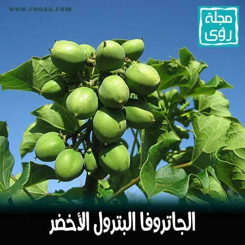 شجرة الجاتروفا : زيت نبات الجاتروفا وقود حيوي بديل للنفط 7