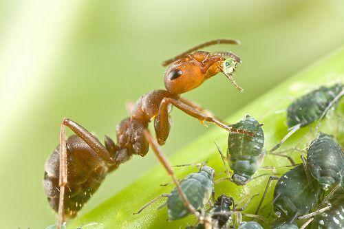 بالصور و الفيديو : سر العلاقة الغريبة بين النمل و حشرة المن 6
