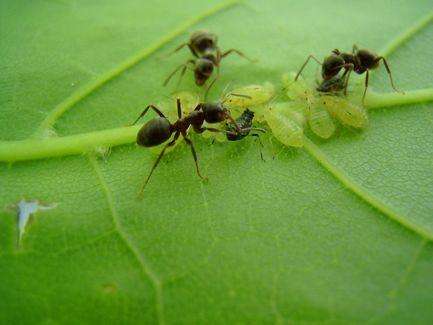 بالصور و الفيديو : سر العلاقة الغريبة بين النمل و حشرة المن 7