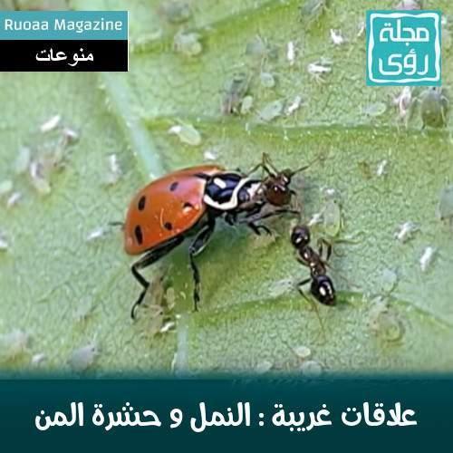 بالصور و الفيديو : سر العلاقة الغريبة بين النمل و حشرة المن 1