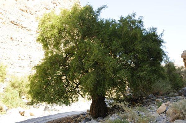فوائد السدر ( النبق - العناب ) 2