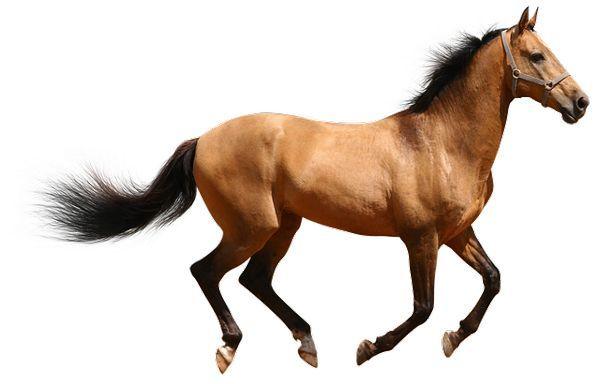 لماذا يقتل الحصان اذا اصيبت ساقه بكسر ولا يعالج ؟ 2