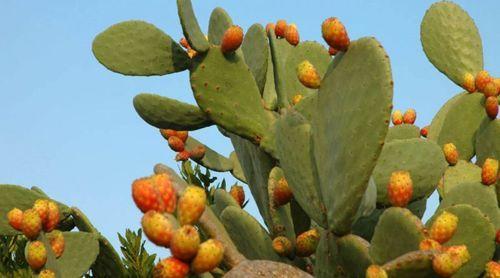 نبات الصبير (التين الشوكي)