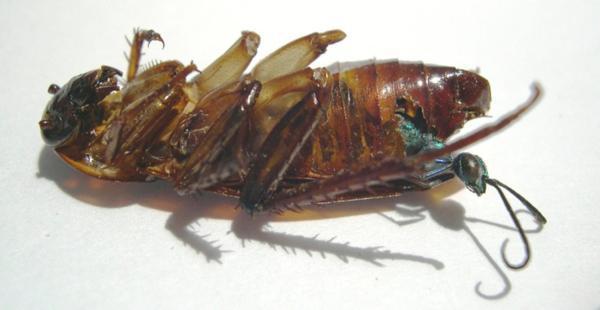 دبور الصراصير : مهارة جراح وقسوة سفاح  ! 5
