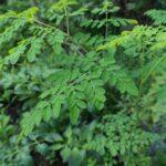 شجرة مورينجا أوليفيرا