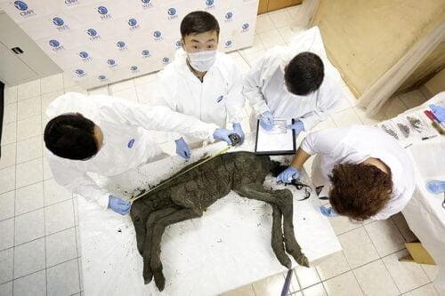 محاولة لإستنساخ حصان منقرض منذ 42 ألف عام 3